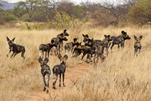 Pack Of Wild Dogs (Cape Huntin...