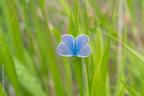 Lycaenidae / Çokgözlü Amanda / Amanda blue / Polyommatus amandus Canvas Print