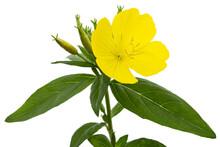 Flower Of Yellow Evening Primr...