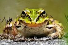Lake Or Pool Frog (Pelophylax ...
