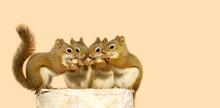 Four Cute Squirrels On A Birch Log, Sharing Seeds.
