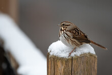 Brown Song Sparrow Perched On A Snow Covered Post Of A Fence With A Gray Background