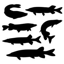 Fish Pike In The Set. Predator...