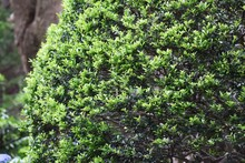Japanese Holly Is An Aquifoliaceae Evergreen Tree And Is Used For Hedges And Garden Trees.