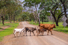 Brahman Cow And Calves Crossing A Gravel Country Road With Dangerous Bend Warning Signs In The Background, Kroombit Tops National Park, Queensland