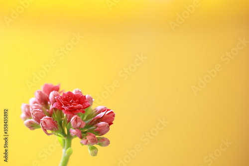 A blooming pink flower on yellow background, many text space