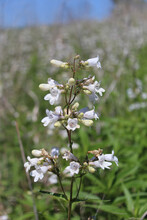 Foxglove Beardtongue At Linne Woods In Morton Grove, Illinois With Some Blue Sky