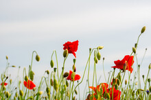 Red Poppy Flowers On The Green...