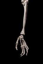 Human Forearm Skeleton Anatomy Bone