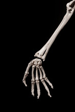 Human Forearm Skeleton Anatomy...