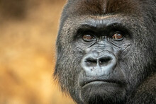 Gorilla Silverback Watching Over His Clan
