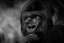 Gorilla Silverback Watching Ov...