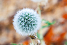 Close View Of Seedhead Of The Dandelion