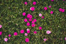 Pink Moss Rose Flowers In The ...