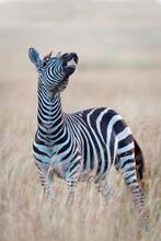 Vertical Portrait Of Zebra Sho...