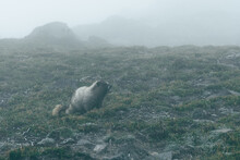 Marmot In The Mist On The Side...