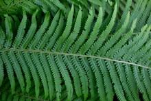 Leaves Of Fresh Green Macro Fern