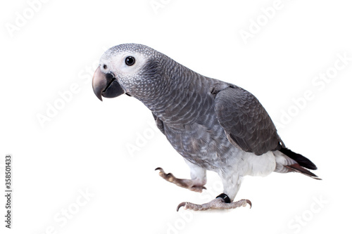 Timneh African Grey Parrot isolated on white Poster Mural XXL
