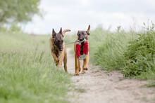 Belgian Shepherd Dog (Malinois...