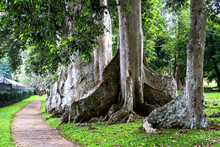 Giant Tree Roots, Botanical Ga...