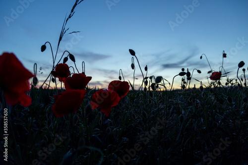 Fototapeta poppy flowers in front of field at blue hour obraz na płótnie