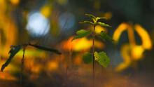 Petites Pousses D'arbre, Dans Un Décor Automnal