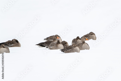 A gaggle of greylag geese resting in the snow Fototapeta