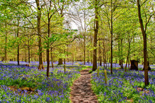 Bluebell Woods At The Spinney ...