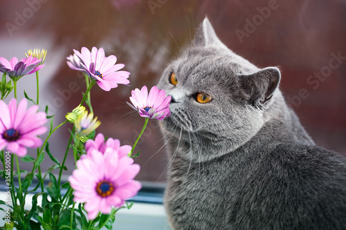 Photo Grey British cat sniffs pink flowers, feline character and behavior, spring aggr
