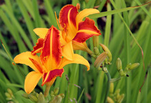 Closeup Image Of Amazing Two Flowers Of A Bright Golden Colour.