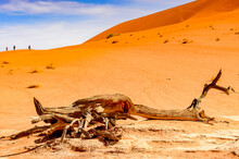 It's Dead Acacia Erioloba In The Dead Vlei (Dead Valley), Namibia Desert, Africa