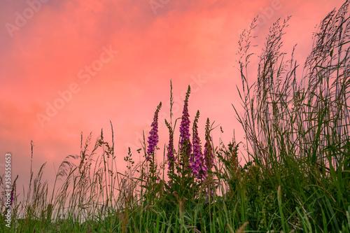 Foxgloves in a Grass Verge Canvas Print