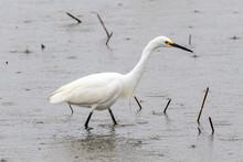 A White Egret Wading In Shallo...