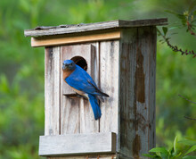 Eastern Bluebird On Birdhouse