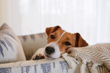 Curious Jack Russell Terrier Puppy Looking At The Camera. Adorable Doggy With Folded Ears Lying On The Armchair At Home With Funny Look On Its Face. Close Up, Copy Space, Background.
