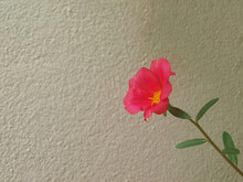 Red Flower On White Wall Backg...