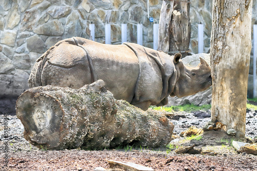 Fototapeta WROCLAW, POLAND - JUNE 09, 2020: Indian Rhinoceros. The Wroclaw Zoological Garden is the oldest and most visited zoo in Poland (and the fifth in Europe). obraz