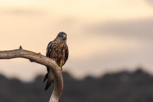 Wild Hawk Sitting On Weathered Tree Branch On Blurred Background Of Sundown Sky In Nature