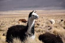Friendly Alpaca Chewing Grass ...