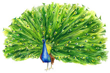 Beautiful Peacock Drawing On A...