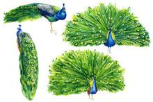 Set Of Drawings Of Peacocks On...
