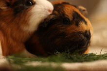 Two Guinea Pigs Eating Grass