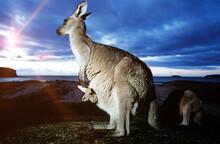 Close Up Of Female Kangaroo Wi...