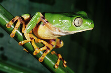 Green Frog Sitting On A Green Vine Shoot