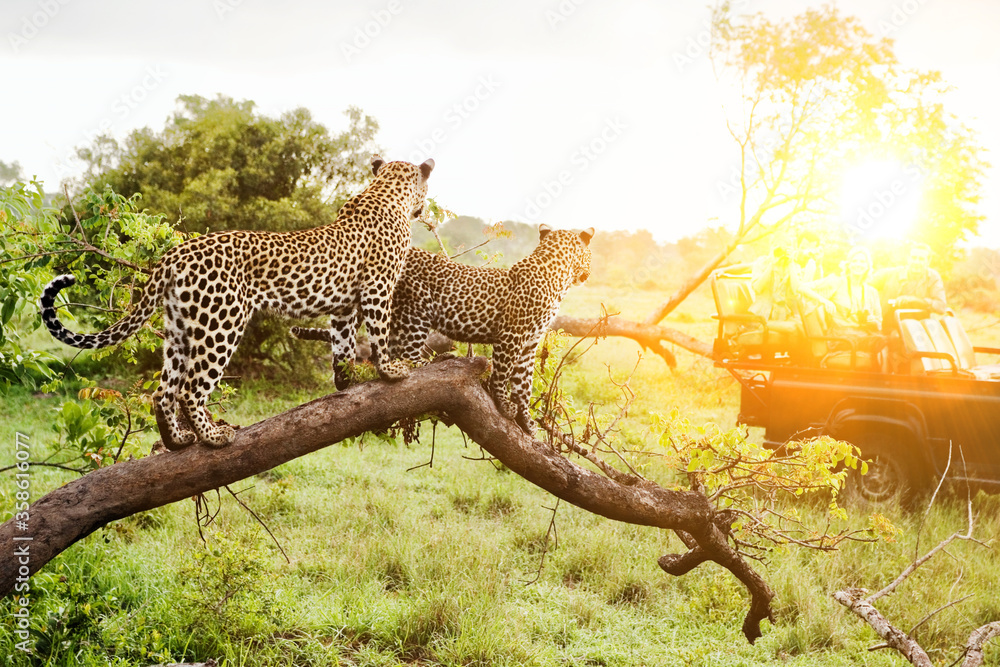Fototapeta Safari in Africa with two leopards