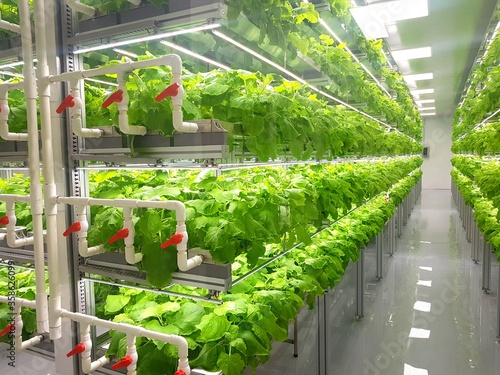 Fresh Vegetables are growing in indoor farm/vertical farm. Canvas