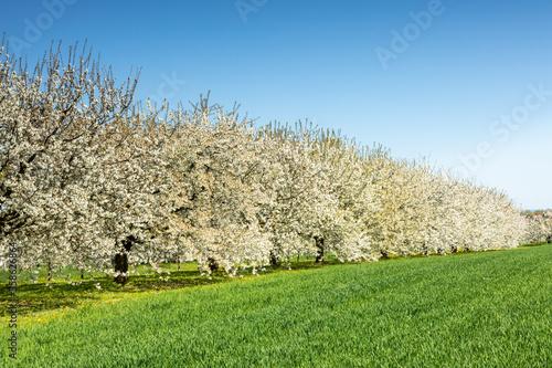 Leinwand Poster Cherry tree blossom near Ockstadt