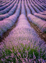 Lavender Fields Ready To Harve...