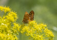 Closeup Shot Of Marsh Fritillary (Euphydryas Aurinia) Butterfly On A Yellow Flower