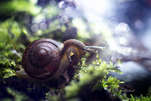 Snail On Green Moss In The Rain